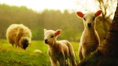 sheep-field-grass-new-zealand